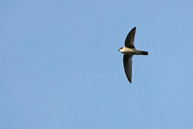 Dalam bahasa Inggris dikenal dengan nama  Mengenal Burung Walet Maluku