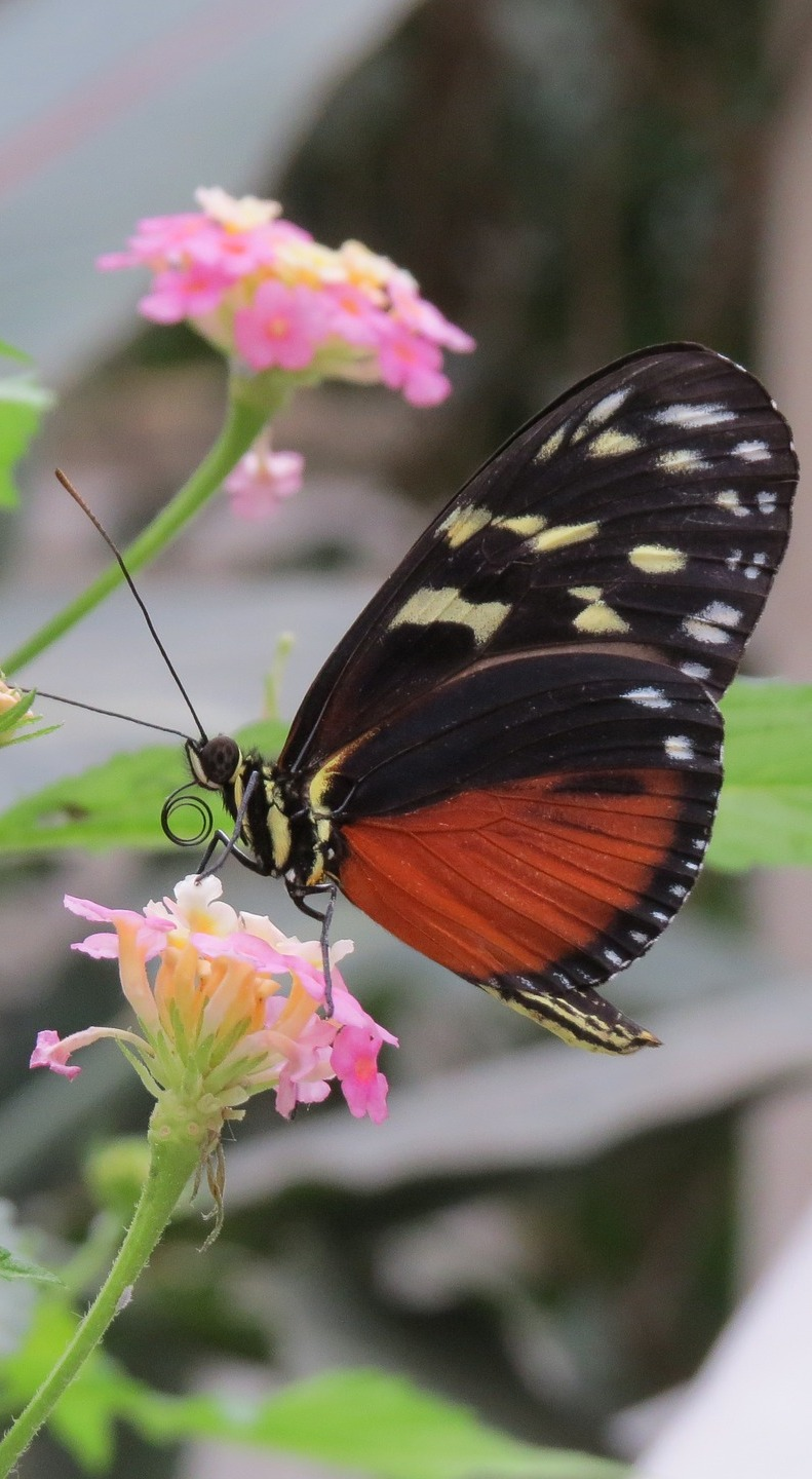Heliconius butterfly on a flower.