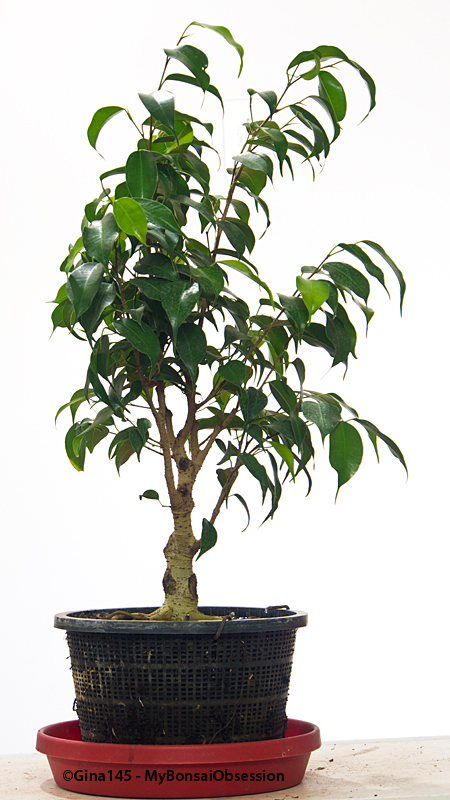 Astonishing My Bonsai Obsession My Struggles With Ficus Benjamina Wiring Digital Resources Sapebecompassionincorg
