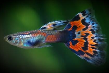 Cara Budidaya Ikan Guppy Untuk Pemula [Terbukti Berhasil]