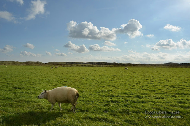 Landscape and flock of sheep in Dunes of Texel National Park.