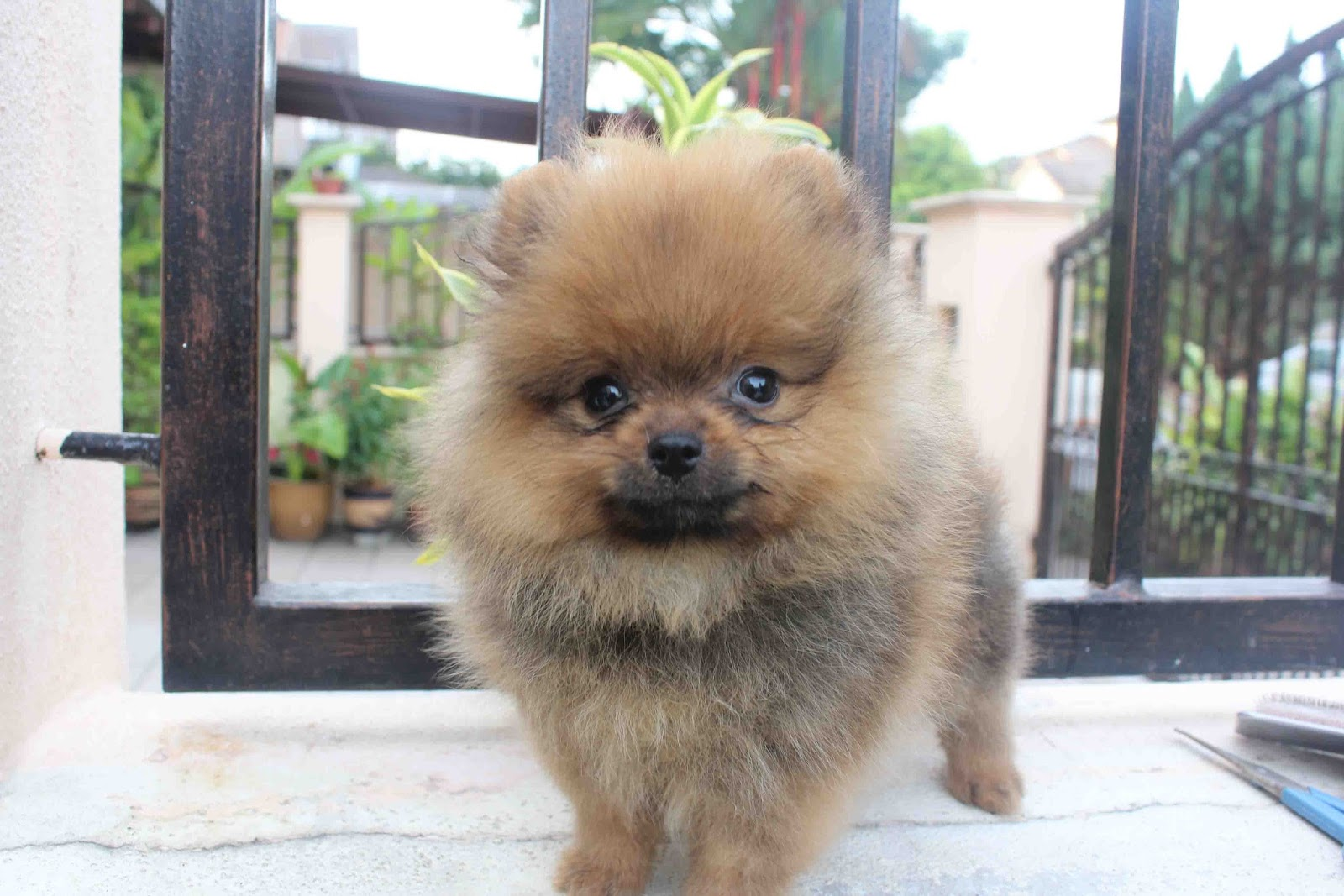 orange pomeranian puppy orange pomeranian 4482