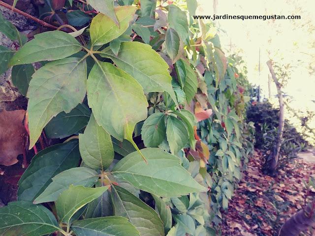 Parra Virgen (Parthenocissus quinquefolia)