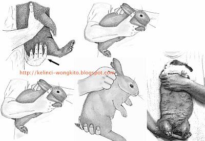 cara mengangkat kelinci yang benar