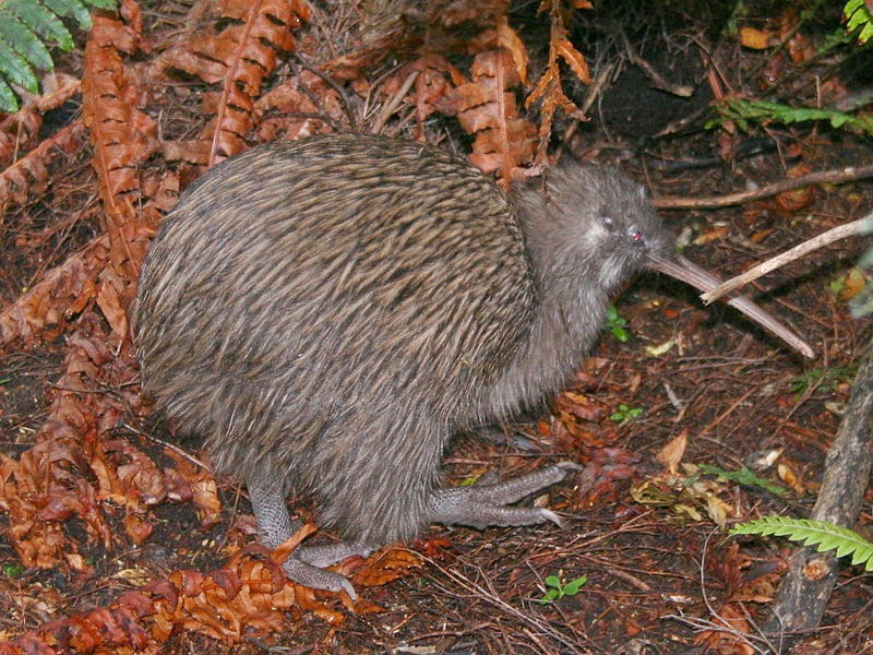 Image of a kiwi, species: Apteryx Australis