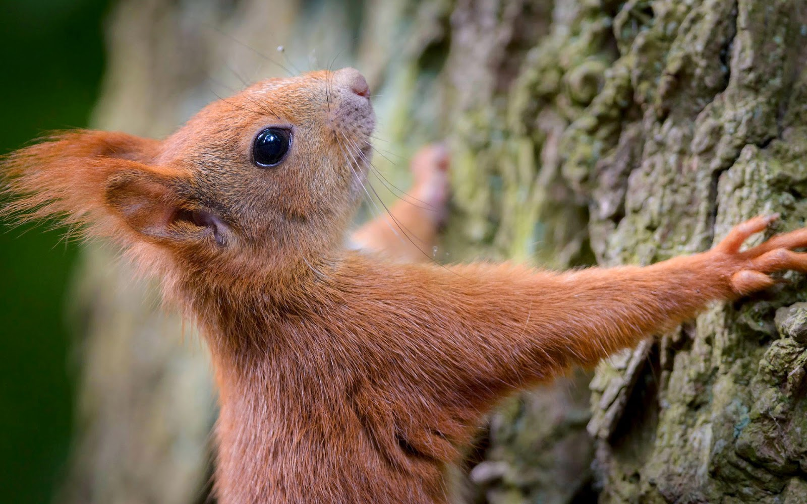 Eekhoorn tegen de stam van een dikke boom