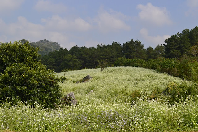 December - The season of white Cauliflower blooms on Moc Chau Plateau 2