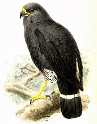 Gavilán plomizo Leucopternis Cryptoleucopteryx plumbea