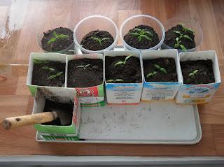 Рассаде полмесяца. Была посеяна в конце января для выращивания в вазонах. Часть будет использована для срезки и укоренения.