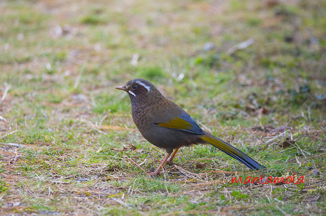 White-whiskered Laughinhthrush