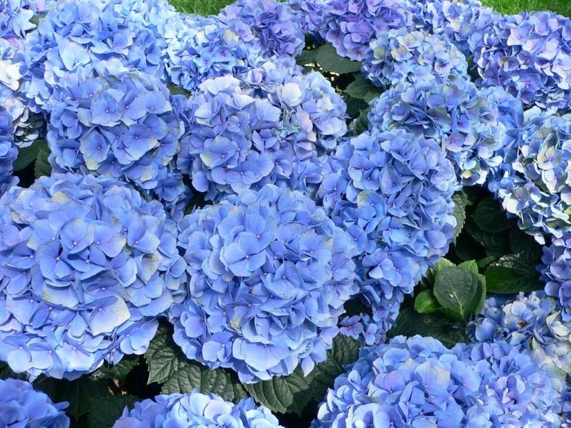 Blue Japanese Maple