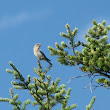 Mountain Bluebird- Pictures from Montana Trip