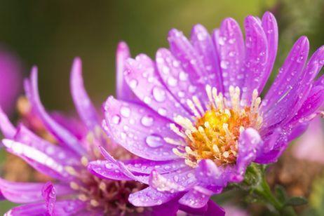 A época da florada fica entre o Verão e o Outono. Necessita de sol pleno e meia sombra para poder crescer saudável. Mede de 30 a 45 centímetros de altura e 30 centímetros de largura.