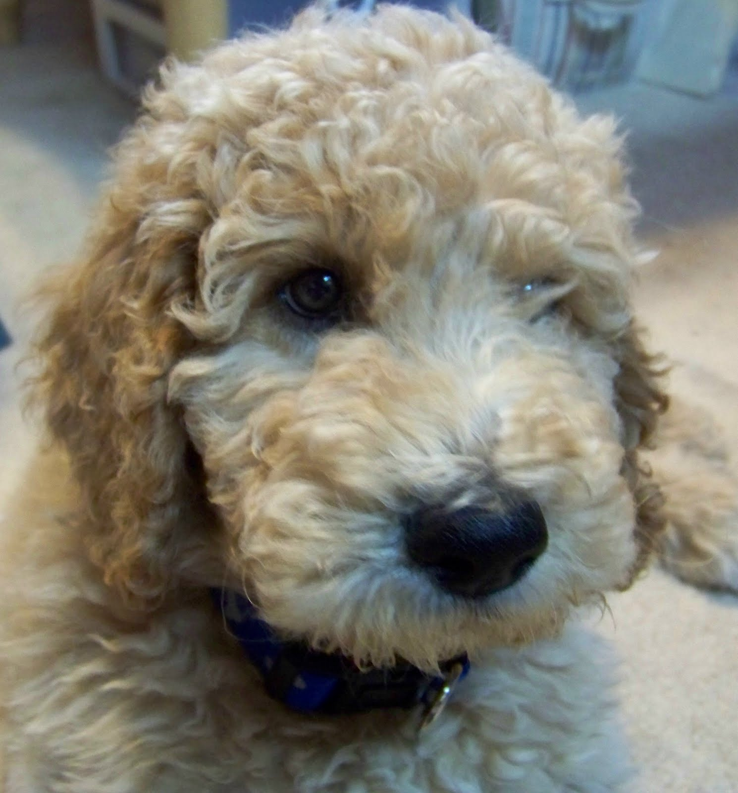 New Kid On The Block Goldendoodle
