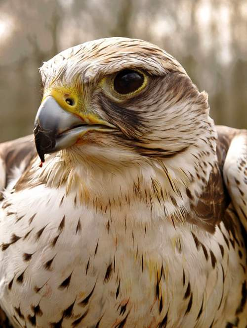 Indian birds - Image of Saker falcon - Falco cherrug