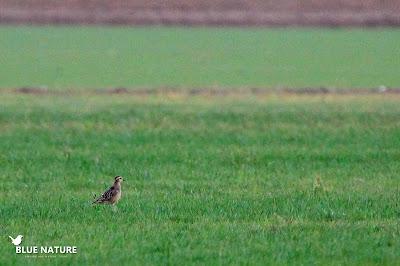 Chorlito carambolo (Charadrius morinellus) en su paso por el Delta del Ebro. Blue Nature
