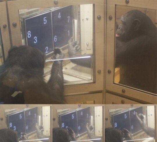 Chimpanzees shown spontaneously 'taking turns' to solve number puzzle