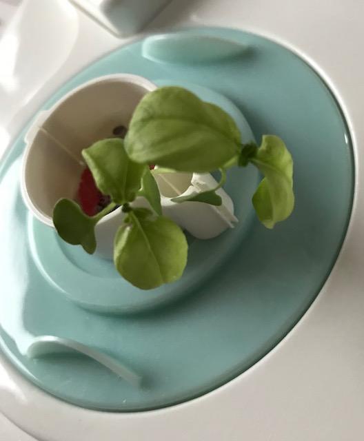 Small basil plant