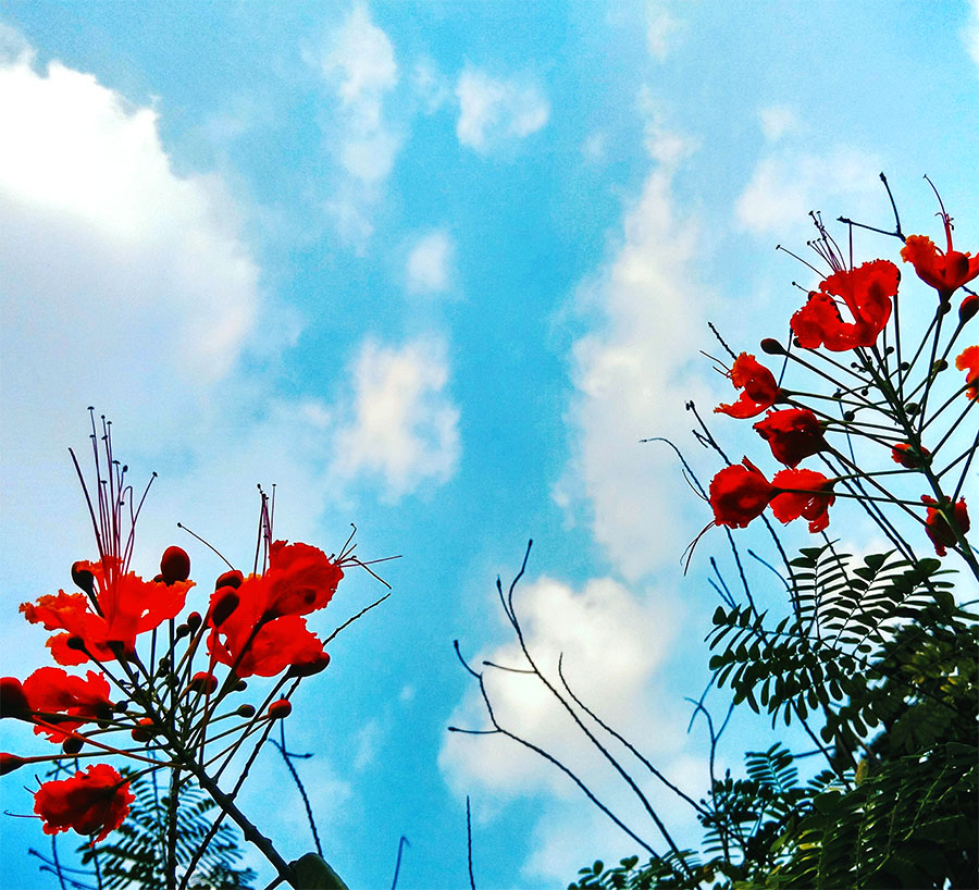 gulmohar flower,clear sky