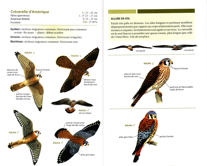 Flora urbana oiseaux de proie du qu bec for Liste oiseaux des jardins