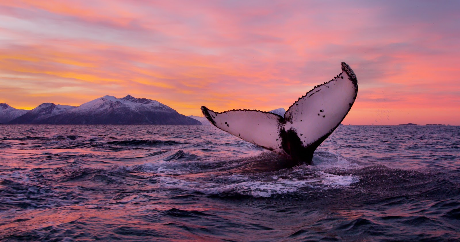 Humpback whale watching in Vesteralen. Photo: Asgeir Helgestad Arctic Light and AS Visitnorway.com. Unauthorized use is prohibited.