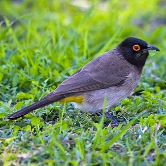Black fronted Bulbul