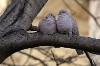 Bir ağaç dalındaki yan yana çifte kumru kuşları