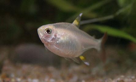 Pristella maxillaris in Aquarium