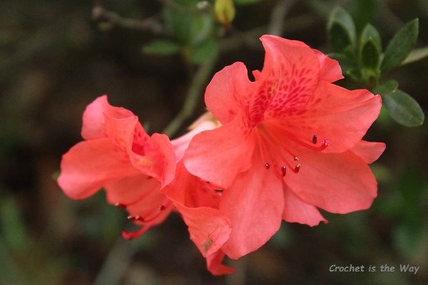 flowers, azalea, salmon/orange