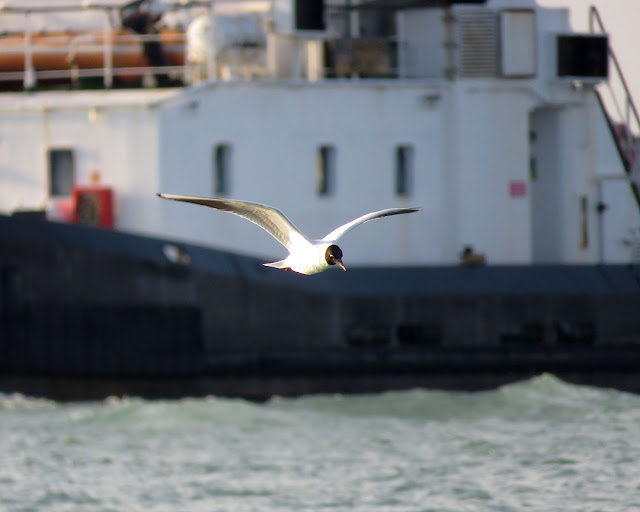 A flying gull with the tug Alfredo Neri, port of Livorno