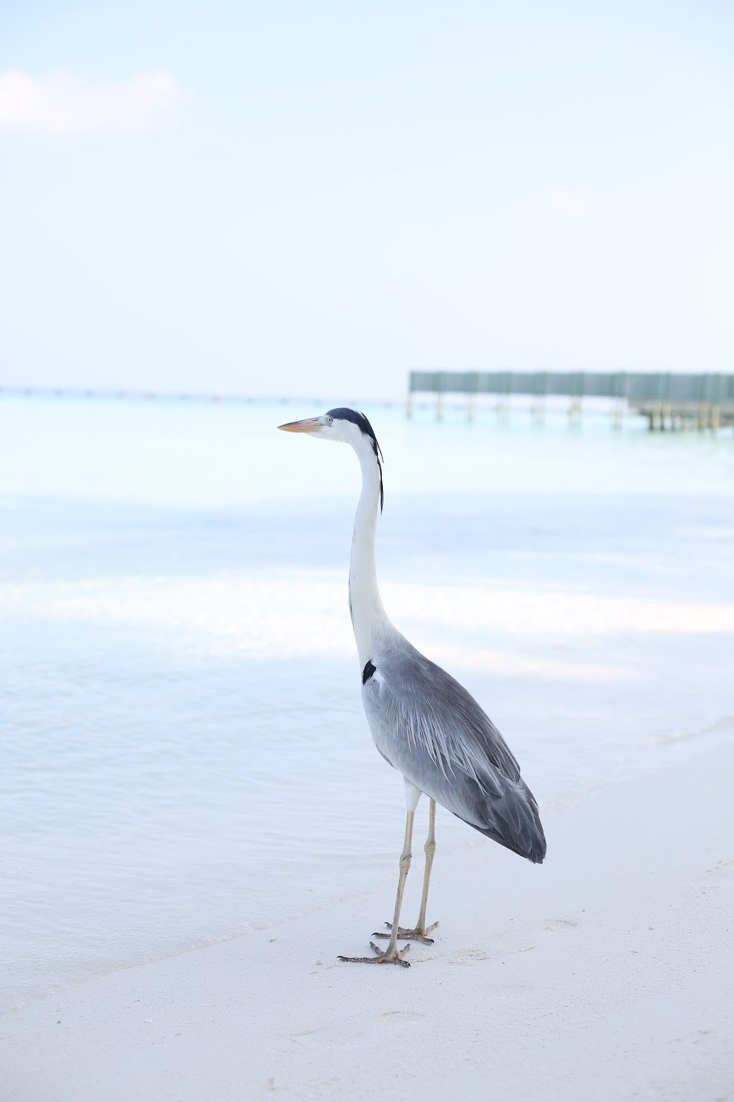 Maldivian bird