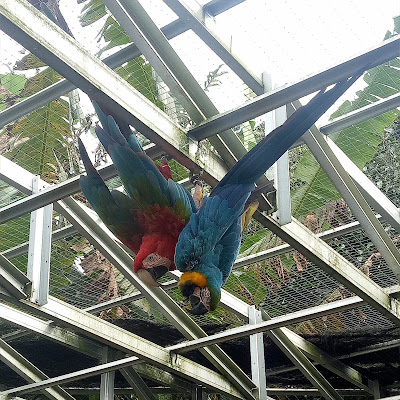 budidaya ternak burung macaw