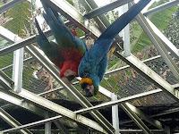 Peluang Usaha Ternak Burung Macaw