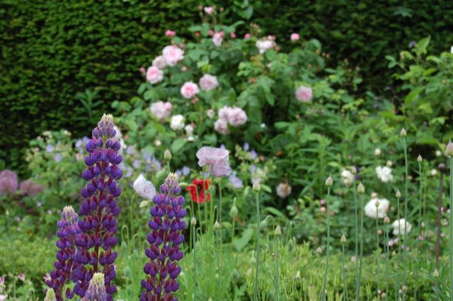 Lupine and roses