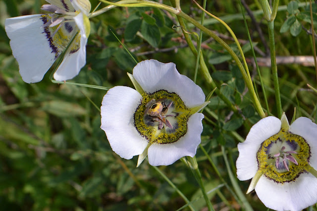 the butt of a bee in a mariposa lily