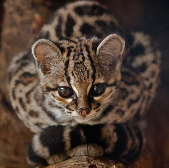 Blog About Cats Margay Photos