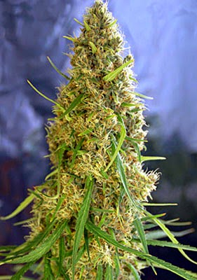Cannabis flowers from Auto-flowering seeds