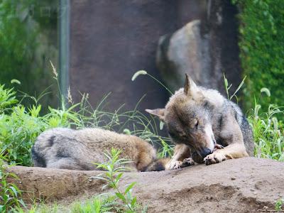 多摩動物公園のタイリクオオカミ