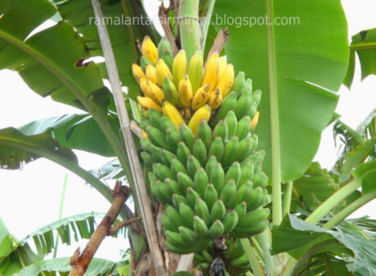 Pohon pisang adalah merupakan tanaman asli yang tumbuh di negara 8 Arti Mimpi Melihat Pohon Pisang Menurut Primbon Jawa