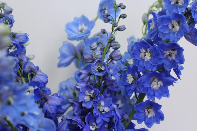 close up of delphinium