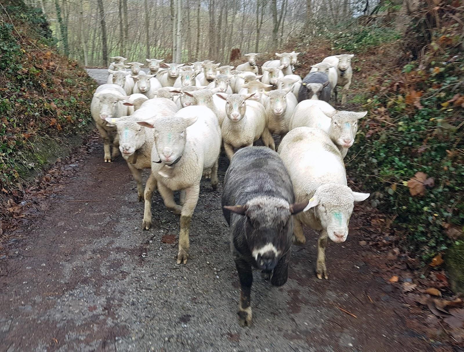 2R Schafe: Zu Weihnachten nach Hause kommen