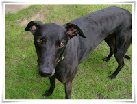 Greyhound Dog Animal Pictures