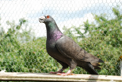 breed dragon - pigeons - wattle pigeons