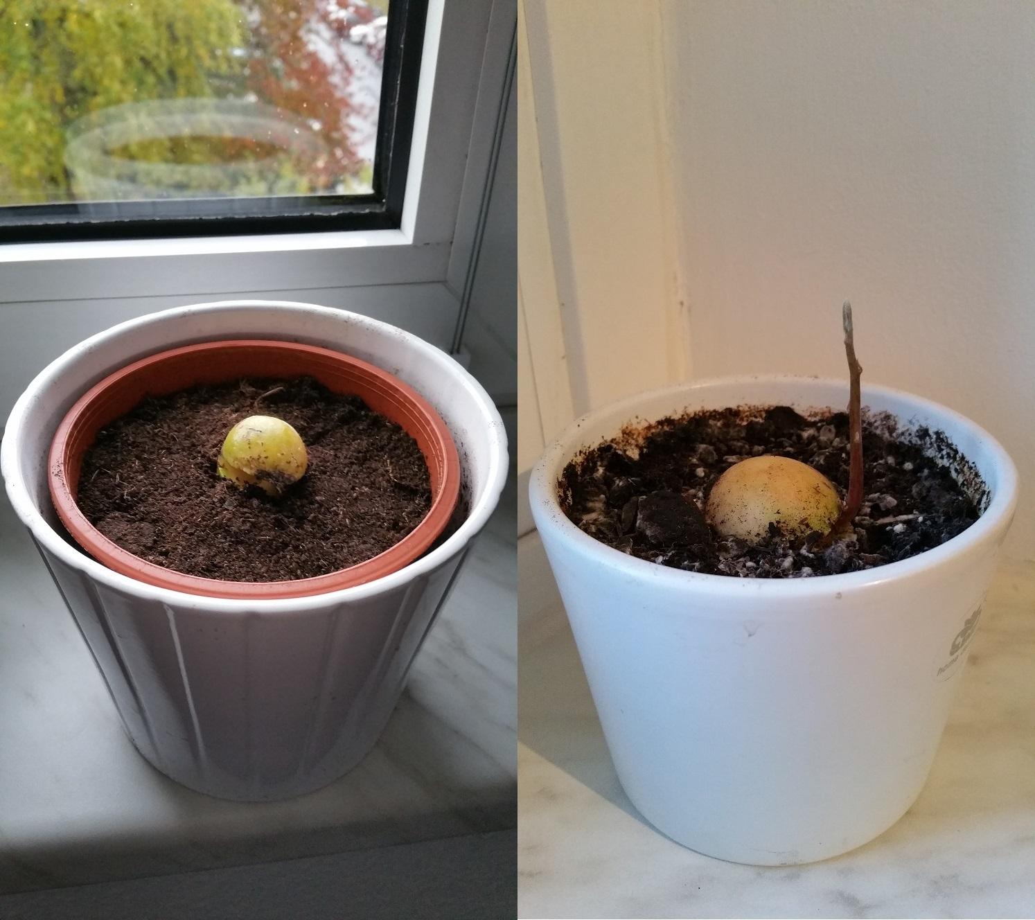 My little japanese world avocado anzucht und pflege for Obstfliegen in der blumenerde