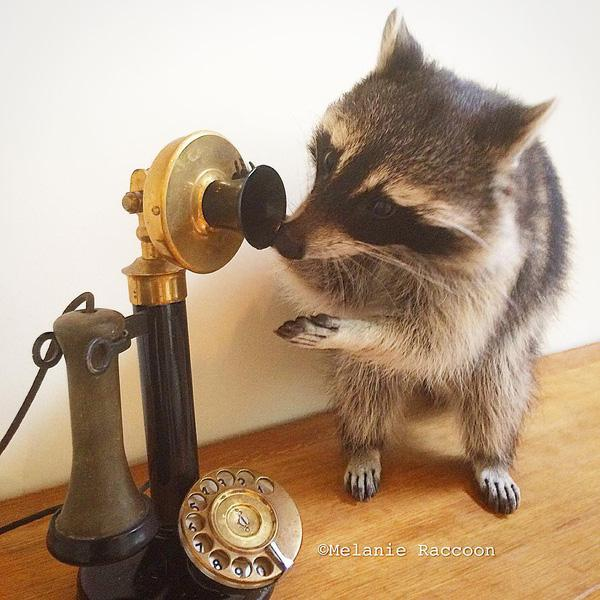 Làm quen với tiểu đội gấu mèo Mỹ tinh nghịch và dễ thương nhất quả đất