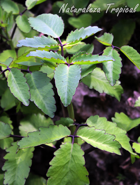 Kalanchoe pinnata es una suculenta con innumerables propiedades medicinales. Se le conoce como Hojas de Aire o Planta del Milagro