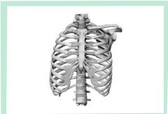 Gambar Tulang Dada dan Tulang Rusuk