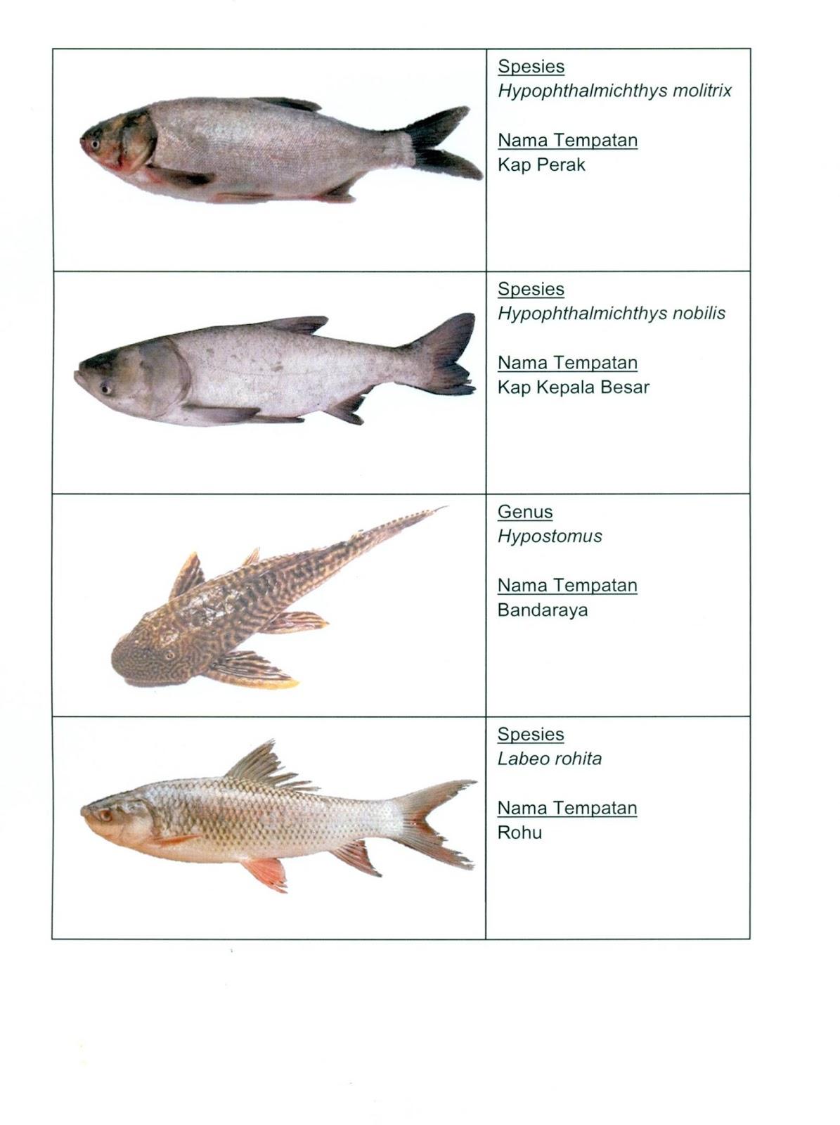 Senarai Ikan Ikan Larangan Oleh Jabatan Perikanan Malaysia Untuk Dilepaskan Ke Perairan Malaysia Dan Punca Bawaan Penyakit Some Bullet For Your Head