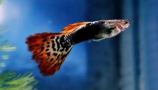 Gambar ikan guppy dragon tuxedo