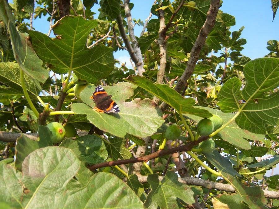 Mariposas de Asturias. Vanessa Atlanta fotografiada a 1 de Noviembre de 2014